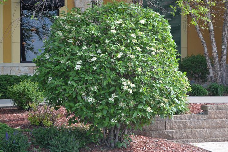 Viburno lucido siepe siepi caratteristiche della siepe for Arbusti ad alberello