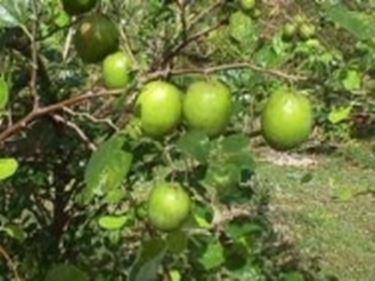 Frutti di Giuggiolo