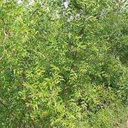 albero di giuggiole
