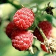 Piantina di Lampone con frutto