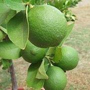 albero di lime