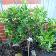 lime pianta