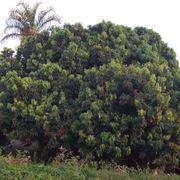frutto litchi