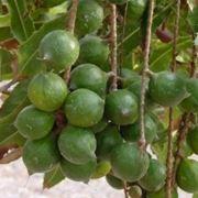 Frutti di Macadamia