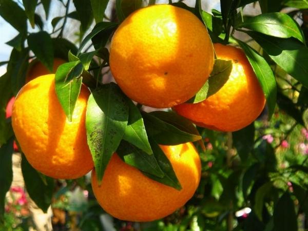 Mandarino citrus nobilis agrumi for Piante da frutto che resistono al freddo