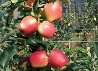 Pianta di melo con frutti