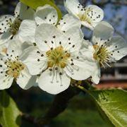 melo albero