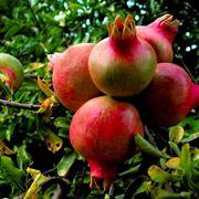 Melograno con frutti