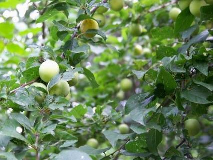Mirabolano e similari prunus cerasifera frutti minori for Kiwi albero