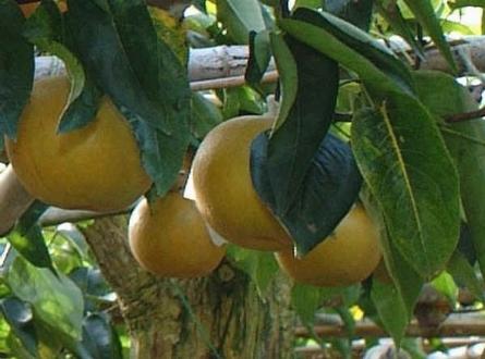 Nashi pyrus pyrifolia frutti tropicali for Pianta nocciolo prezzo