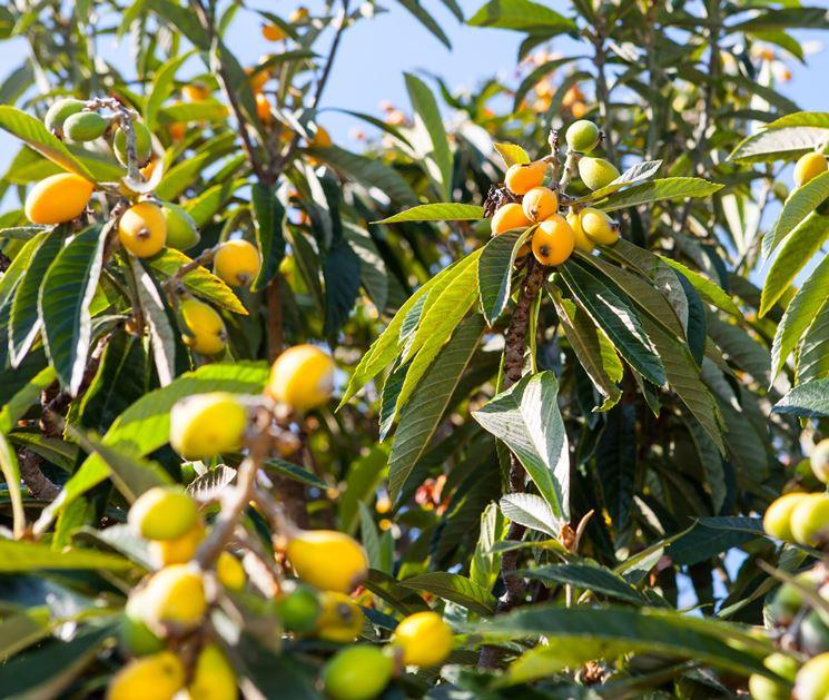 Pianta di Nespolo con frutti abbondanti