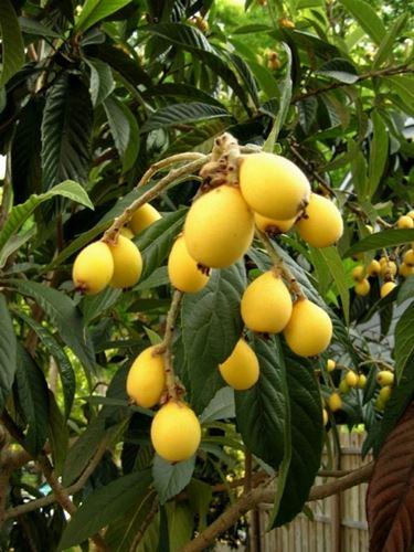 Frutti del Nespolo del Giappone