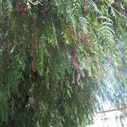 albero del pepe