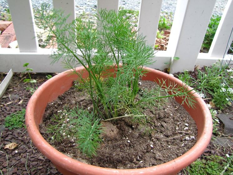 Weed that looks like dill