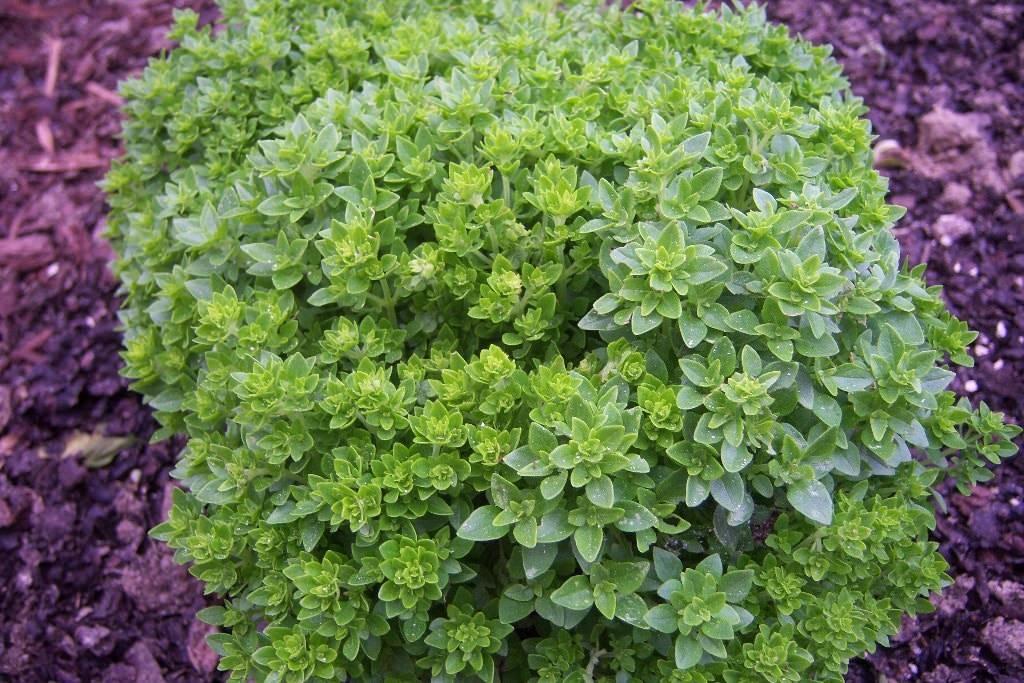 Basilico greco aromatiche conosci la pianta del for Coltivare il basilico