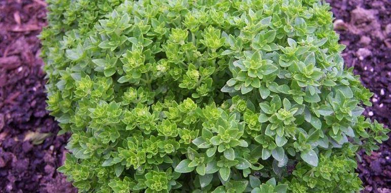 <h6>Basilico greco</h6>Conosci la pianta del basilico greco? Scopri con noi come coltivarla, le sue variet� e le sue propriet�.