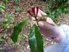 Eugenia caryophyllata fresca.