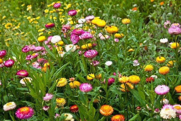 Piante fiori Elicriso