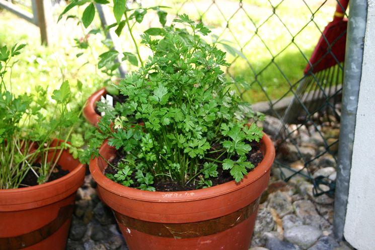 Esemplare di pianta di prezzemolo in vaso