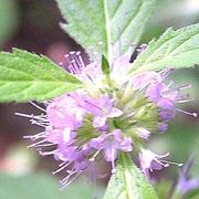 Un fiore della pianta di menta