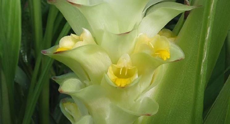 Fiore pianta curcuma