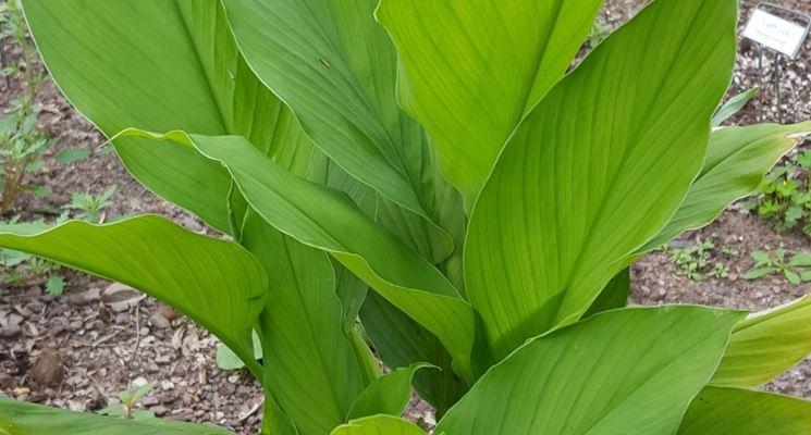 pianta curcuma
