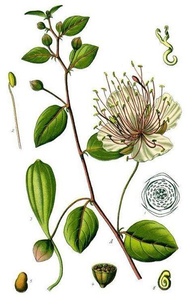 Le varie parti della pianta del cappero