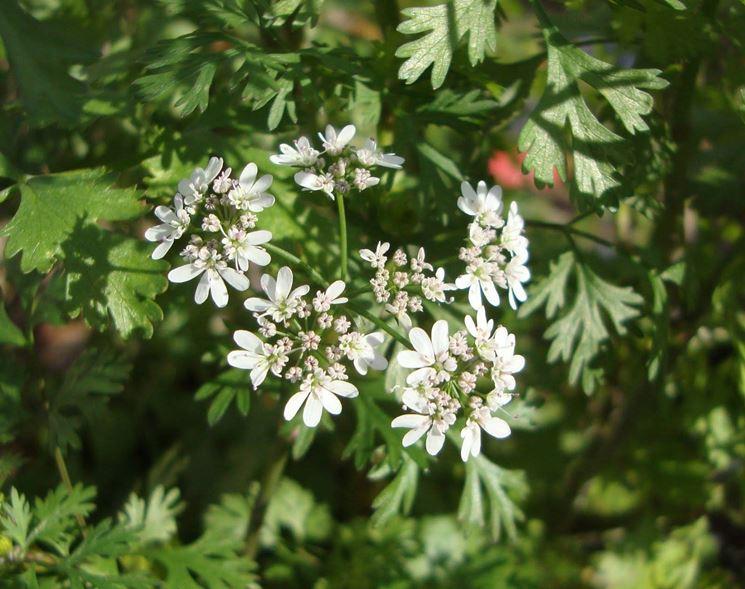 Pianta del coriandolo fiorita