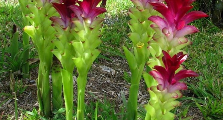 Pianta di curcuma coltivata in giardino