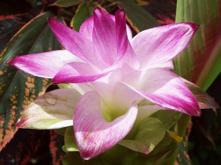 Particolare del fiore di curcuma
