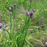 Erba cipollina selvatica fiorita