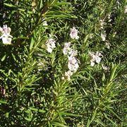 pianta di rosmarino