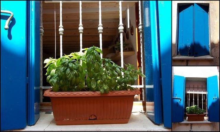 pianta di basilico in vaso