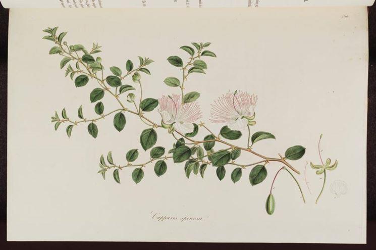 Disegno botanico di capparis spinosa