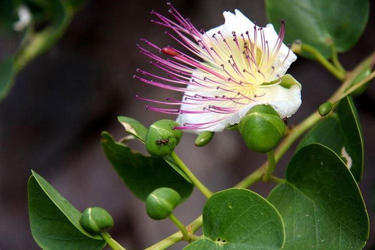 Un fiore di cappero schiuso