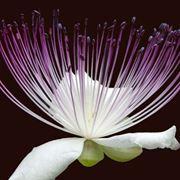 fiore cappero