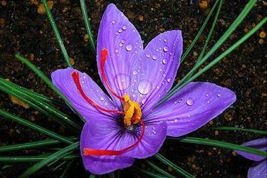 Il fiore zafferano
