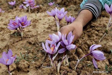 La coltivazione del fiore zafferano ha bisogno di terreni molto permeabili.