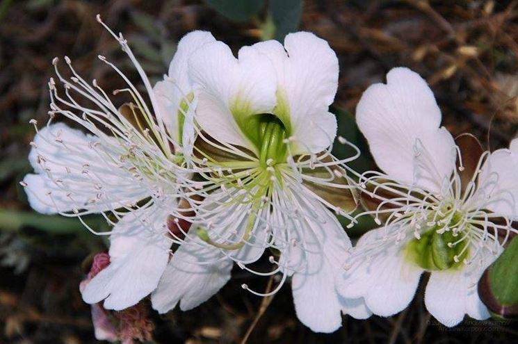 Fiore di capparis spiniza