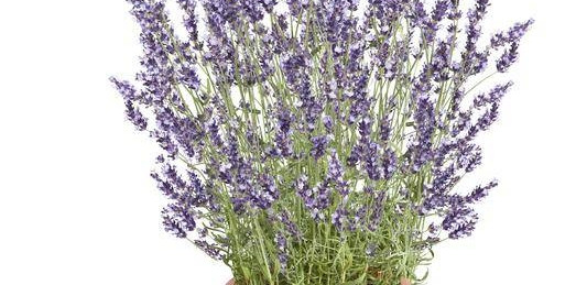 <h6>La lavanda</h6>Un profumo che ricorda il pulito e la freschezza, coltiva anche tu, con i nostri consigli, la tua pianta di lavanda.