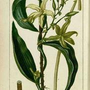 pianta della vaniglia