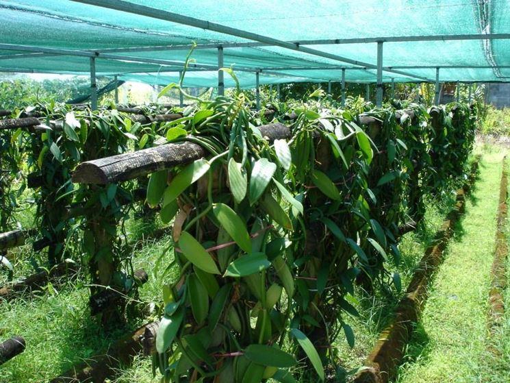 serra con piante di vaniglia