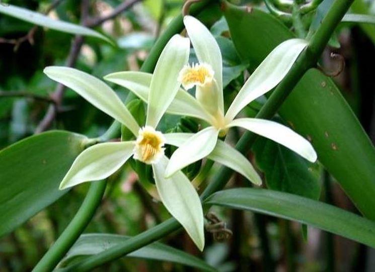 fiori della vaniglia