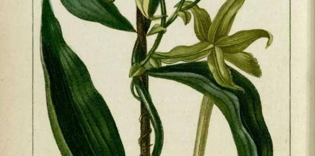 <h6>La pianta della vaniglia</h6>Non solo bella ma anche buona, scopri con noi questa sorprendente pianta che potr� crescere anche a casa tua.