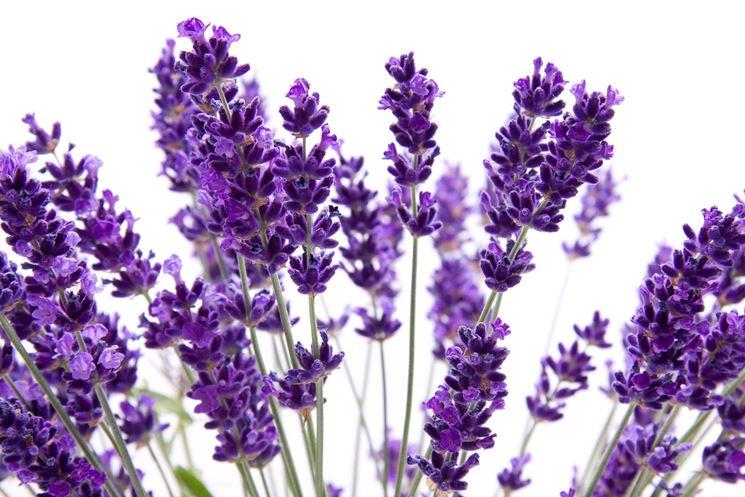 Lavanda coltivazione aromatiche come coltivare la lavanda for Lavanda coltivazione in vaso