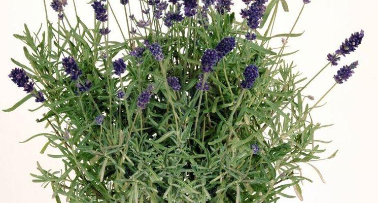Lavanda semina aromatiche semina della lavanda for Lavanda coltivazione in vaso