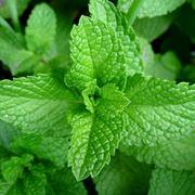 pianta di menta aromatica