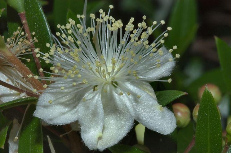 Fiore mirto