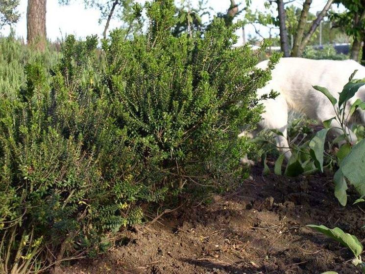 Arbusto di Mirto tipico della macchia mediterranea