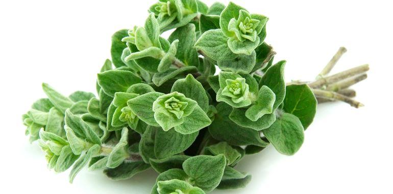 <h6>Origano selvatico</h6>Facilit� di coltivazione e aroma intenso. Coltiva l�origano sul terrazzo di casa e utilizzalo per insaporire i tuoi piatti quotidiani!